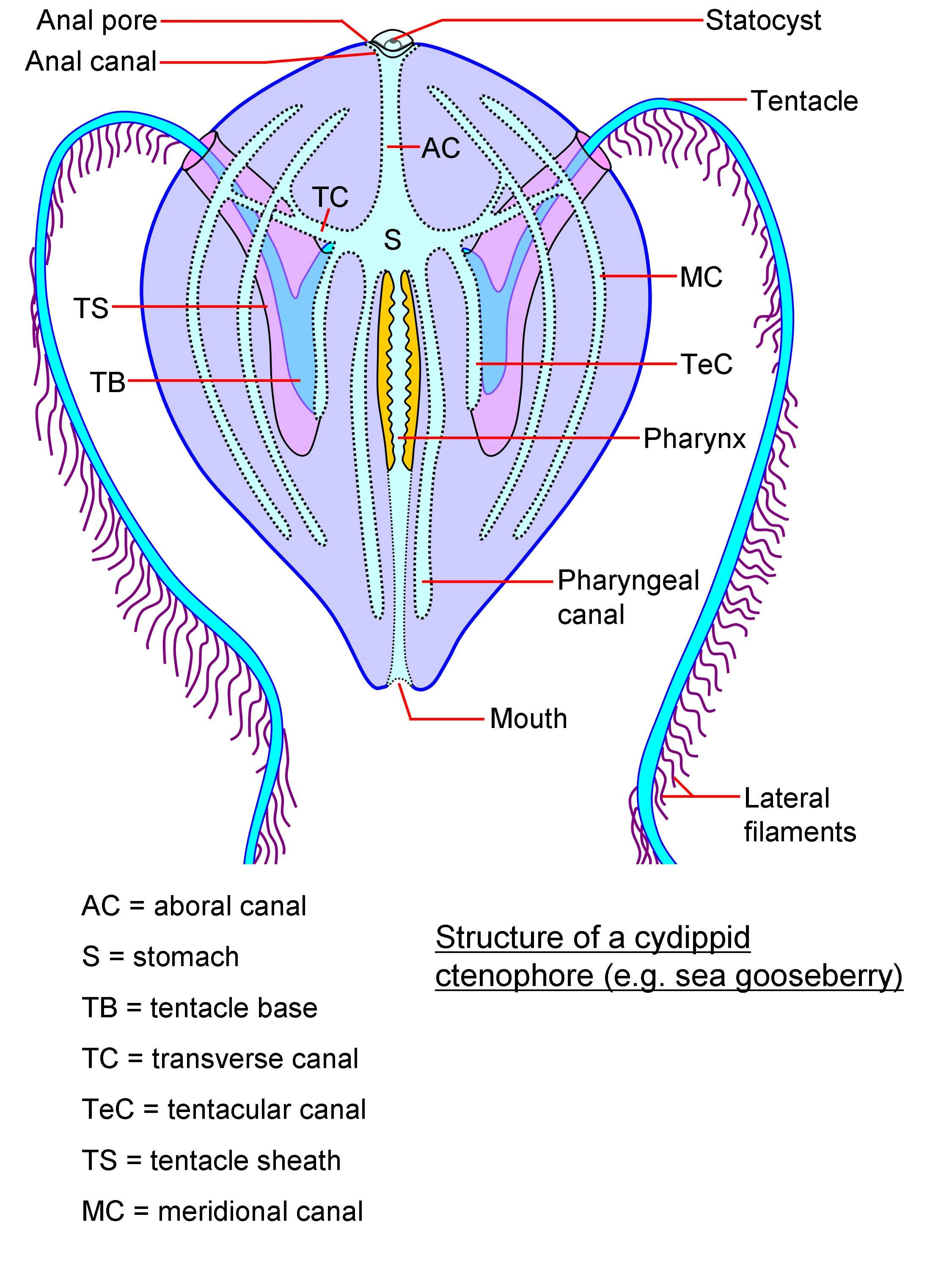 jellyfish oral and aboral diagram comb jellies characteristics  habitats  reproduction and  comb jellies characteristics  habitats  reproduction and