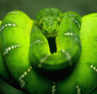 Green Anacondas: Characteristics, habitat,  attacks and more….