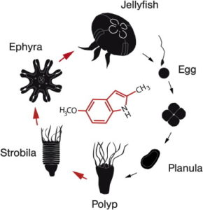 jellyfish : typical lyfe cycle