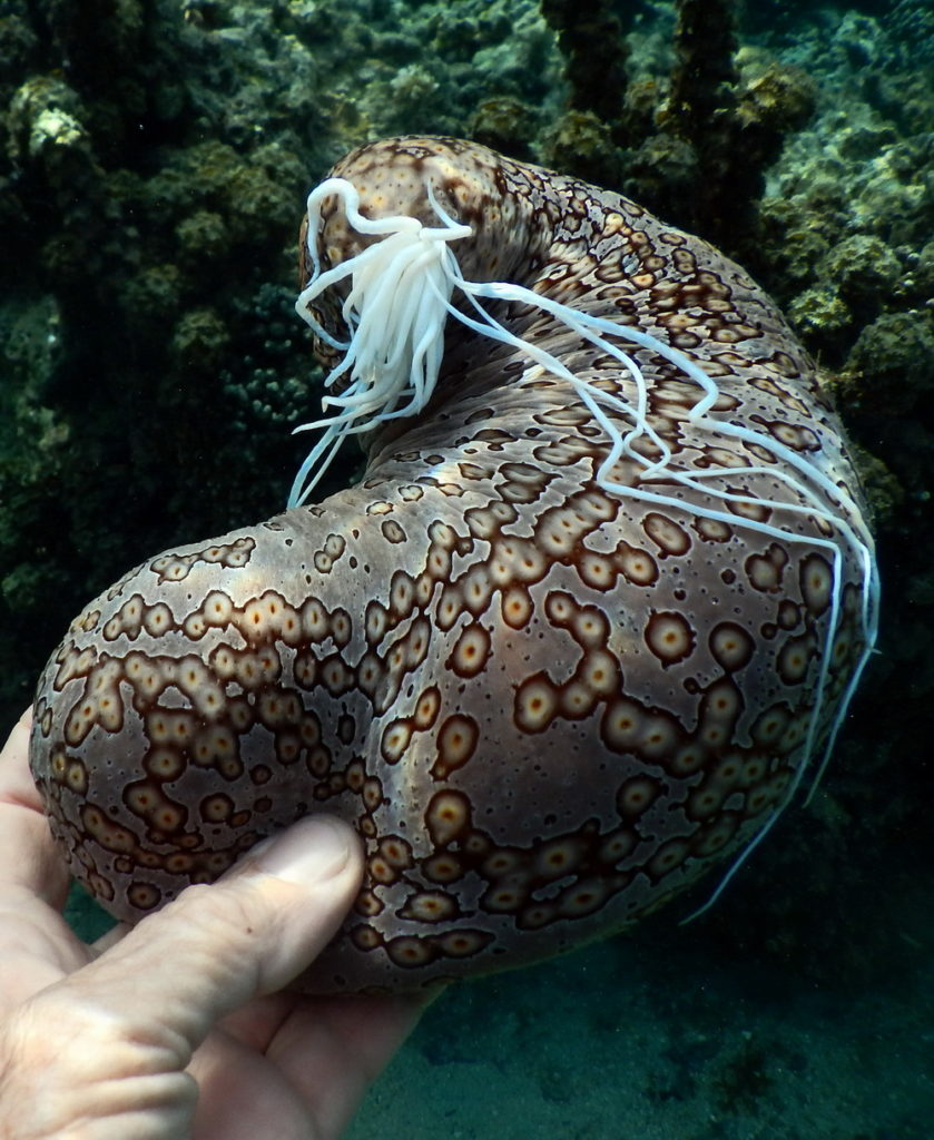 sea cucumbers characteristics reproduction habitats and