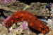 Sea Cucumbers: Characteristics, reproduction, habitats and more