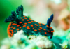 Sea Slugs: Characteristics, habitats, reproductions and more