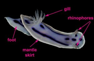 sea slugs : anatomy