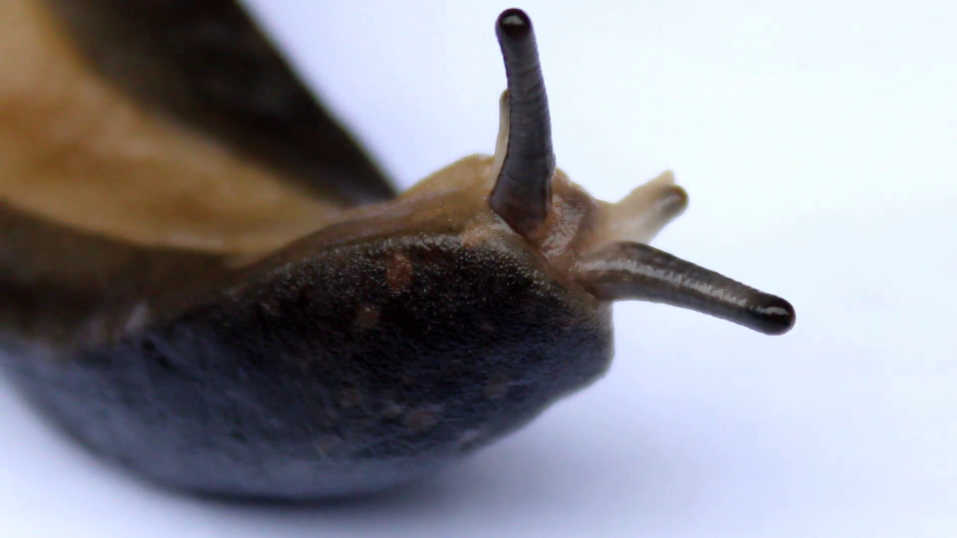 Snails: Characteristics, properties, types and more