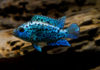 Blue Dempsey: Characteristics, reproduction, care and more….