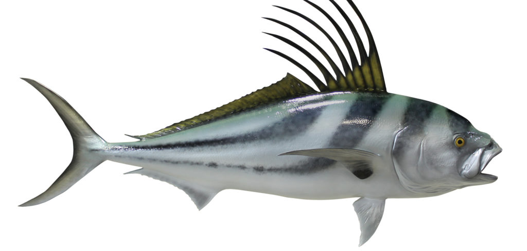 all about roosterfish: anatomy
