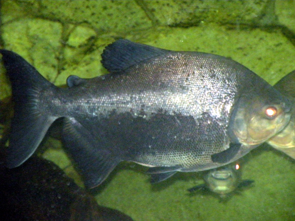 Pacu Fish: Types, habitats, characteristics and more