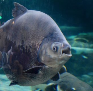 Pacu Fish: Types, habitats, characteristics and more…