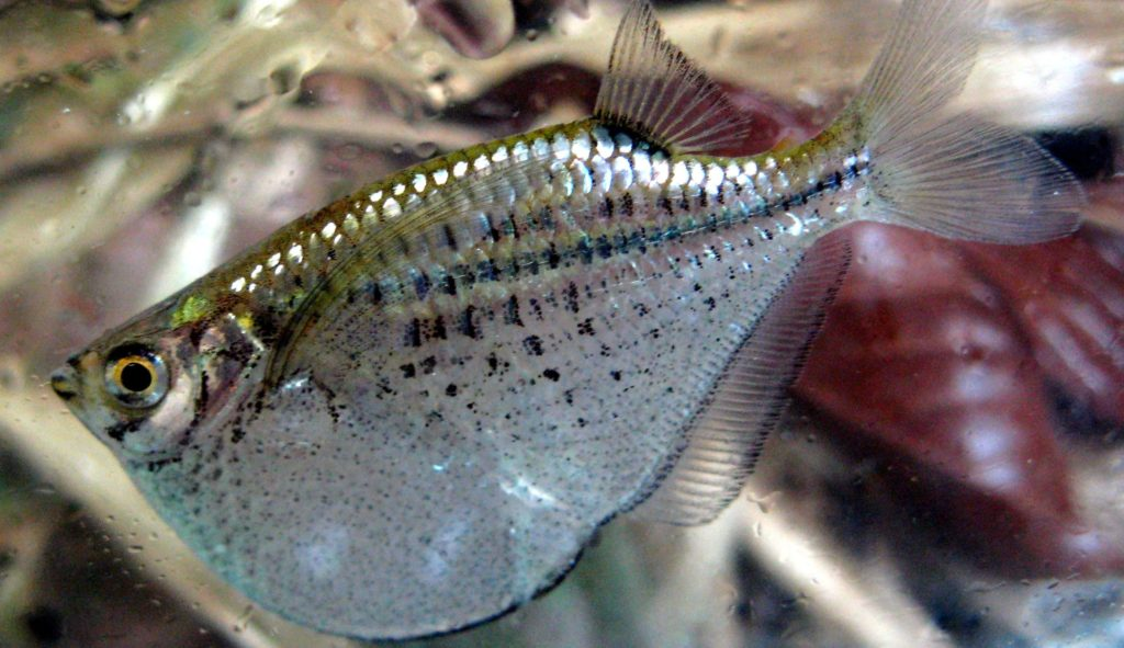 silverfish: Spotfin Hatchetfish