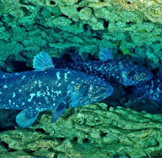 Coelacanths: Characteristics, types, behavior and more….