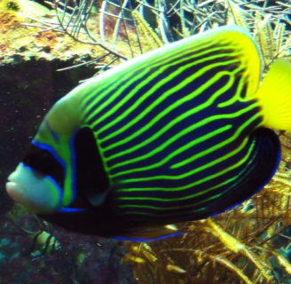 Emperor angelfish: Habitat, care, reproduction and more…