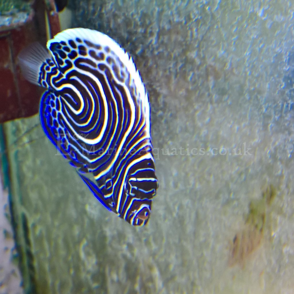 Emperor Angelfish: Habitat, Care, Reproduction And More