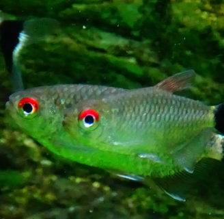 Red Eyes Tetra Fish: Learn all about these striking fish