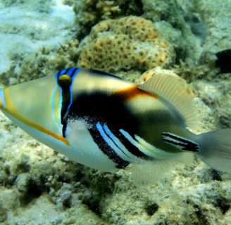 White-banded triggerfish: Characteristics, habitats, care and more…