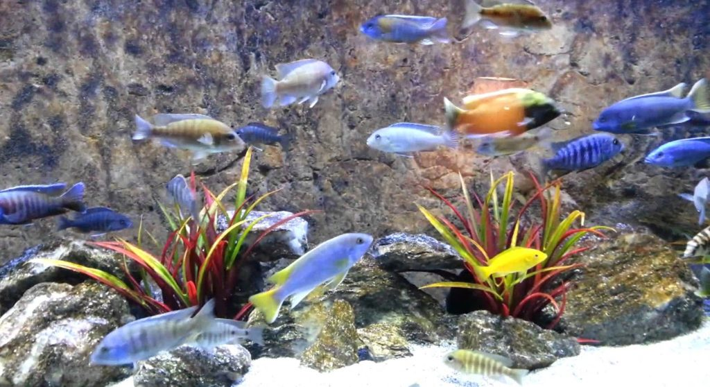 White spotted cichlids: is there any doubt about their beauty?