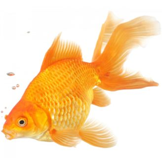 Goldfish: Characteristics, habitats, types and more…