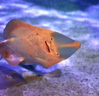 Guitarfish: Characteristics,types, habitat curiosities and more…