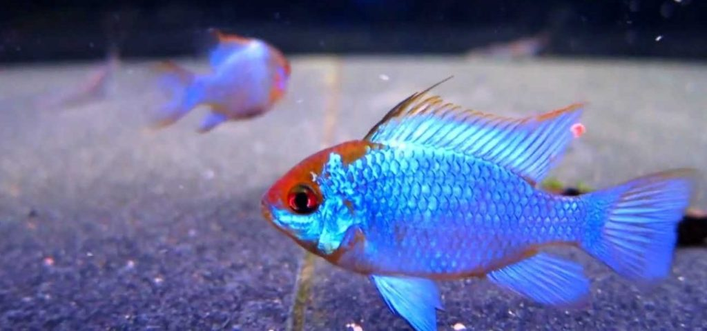 ram cichlids : really striking creatures