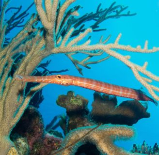 Trumpet fish: Characteristics, types, habitat and more…