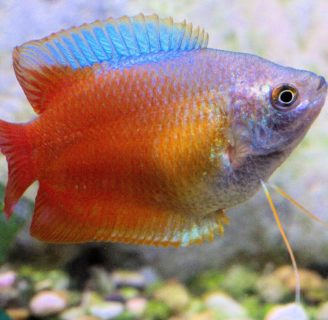 Gourami fish: Characteristics, types, habitat, care and more…