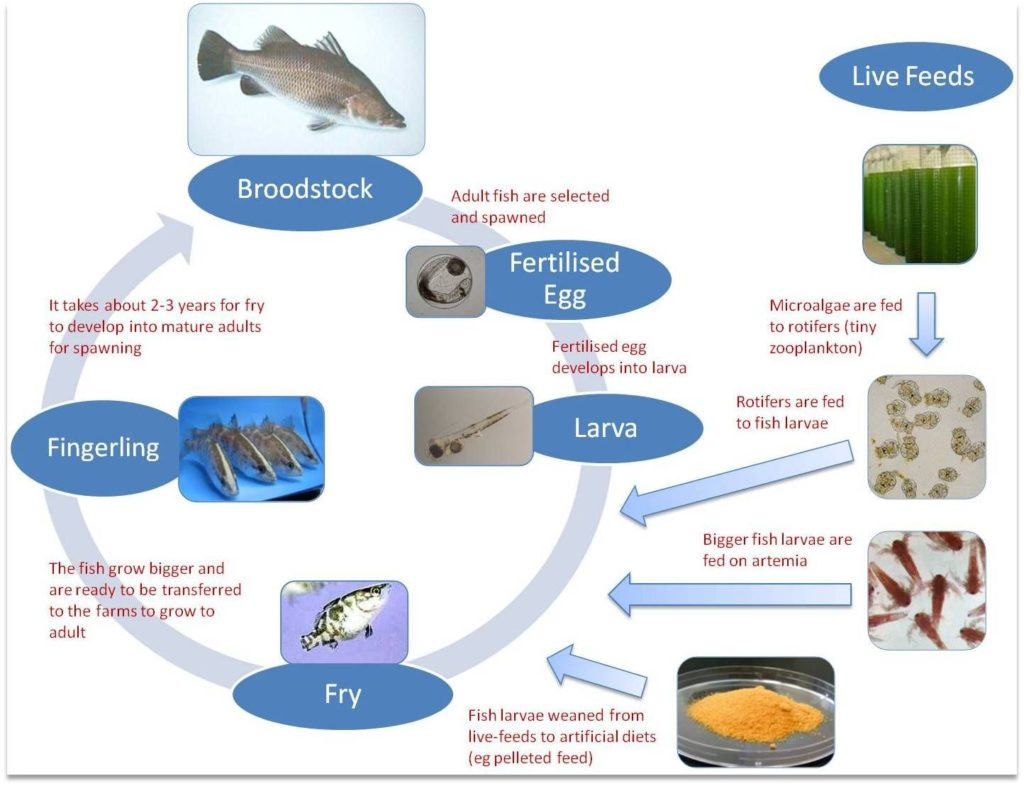Tilapia fish: tilapias' lyfe cycle