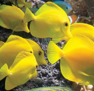 Yellow sailfin tangs: Characteristics, care, reproduction and more…