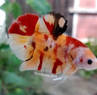 Betta Fish: Characteristics, types, care and more…