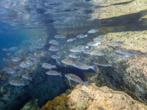 European sea bass: they look just stunning swimming in schoals
