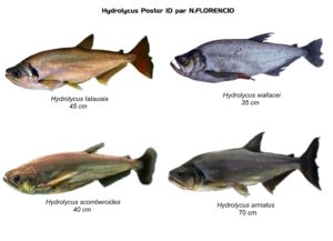 vampire fish: species belonging to the Hydrolycus genus
