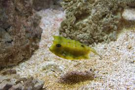 Longhorn cowfish: Longhorn cowfish in an aquarium