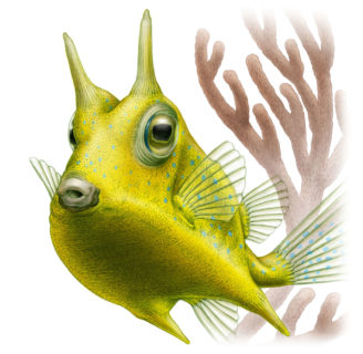 Longhorn cowfish: Characteristics, types, reproduction and more….