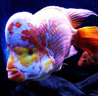 Midas Cichlids. Characteristics, habitat, care and more….
