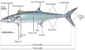 bony and cartilaginous fish: the bony fish typical anatomy