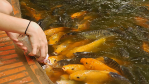 koi fish: milk feeding koi fish