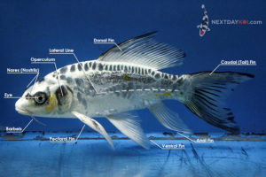 koi fish: the koi fish external anatomy