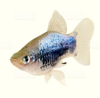 Platy fish: Characteristics, types, care and more….