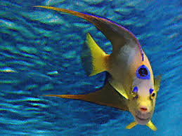 queen angel fish : just striking creatures