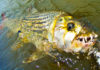 African TigerFish: Characteristics, habitat, reproduction and more….