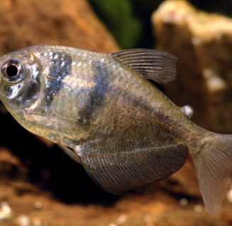 Black tetra fish: Characteristics, reproduction, care and more…