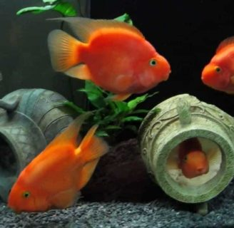 Blood parrot cichlid: Characteristics, care , reproduction and more….