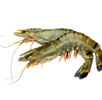 Giant tiger prawn: Characteristics, breeding, recipes and more…