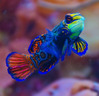 Striped Mandarinfish: Characteristics, types, care and more….