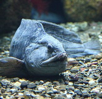 Atlantic Wolffish: Characteristics, habitat, related species and more….