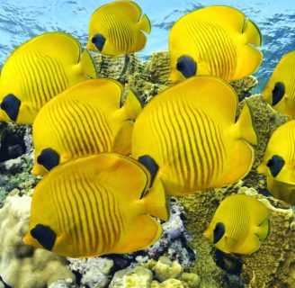 Butterfly fish: Characteristics, types, habitat and more….