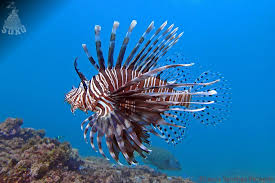 ragged finned firefish: Red lionfish