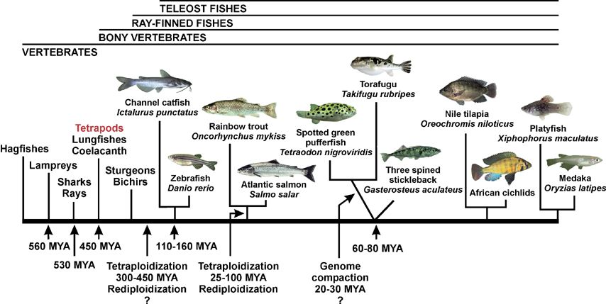 teleost fish: genome evolution and biodiversity in teleost fish