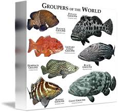 Groupers: Types, reproduction, benefits and more