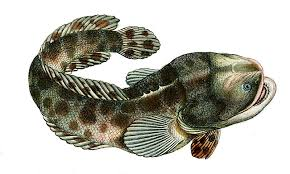Lusitanian toadfish: Characteristics,  habits,  types and more….