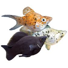 Molly fish: Characteristics, types, care and more….