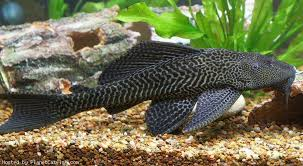 Common Pleco: Characteristics, care, types and more….